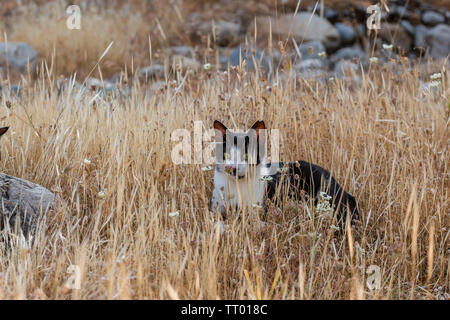 adult domestic cat lying in dried plants. suitable for animal, pet and wildlife themes - Stock Image