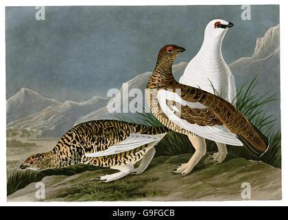 Ptarmigan, Lagopus mutus, birds, 1827 - 1838 - Stock Image