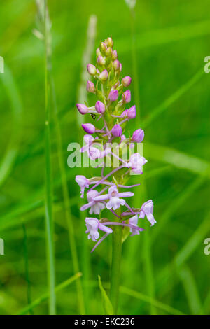 Fragrant orchid Gymnadenia conopsea, Cressbrook Dale NNR Peak District National Park June 2014 - Stock Image