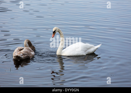 Picture of the mother swan and her child looking for food - Stock Image