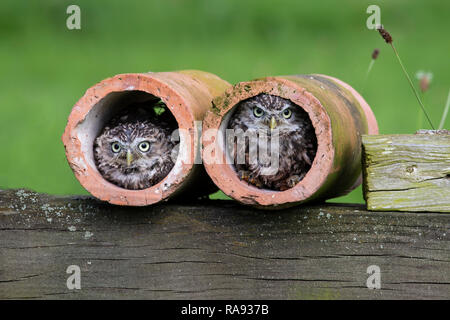 A pair of Little Owls Athene noctua peeping out of clay drainage pipes and taken under controlled conditions - Stock Image