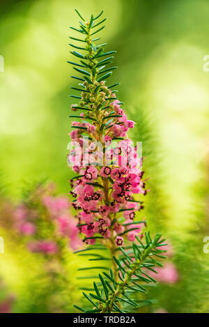 Purple heather flowers  on blurred background - Stock Image