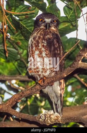 Brown Hawk Owl, (Ninox scutulata), Keoladeo Ghana National park, Bharatpur, Rajasthan, India - Stock Image