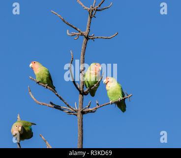 Africa, Namibia, Keetmanshoop. Rosy-faced lovebirds on tree. Credit as: Wendy Kaveney / Jaynes Gallery / DanitaDelimont.com - Stock Image