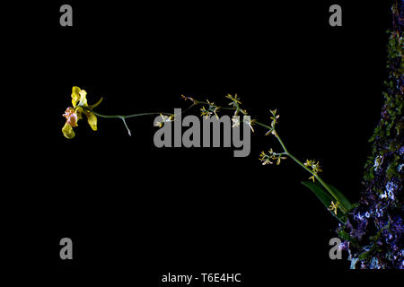 small yellow orchid growing on tree - Stock Image