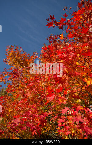 red and gold autumn leaves of Acer palmatum, Japanese maple, against a blue sky, in autumn, fall, tree top, November, Sussex, UK - Stock Image