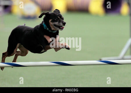 Westminster Dog Show - 9 February 2019, New York City:  Lucy, an All American Dog, competing in the preliminaries of the Westminster Kennel Club's Master's Agility Championship. - Stock Image