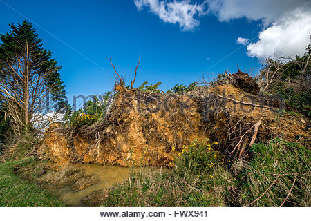 Storm wind damage : uprooted trees - Stock Image
