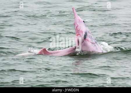 Indo-Pacific Humpback Dolphin (Sousa chinensis) with rake marks, as he has been harassing the mother-and-calf. This is aggressive behavior of dolphins. - Stock Image