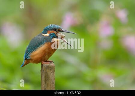 Common kingfisher (Alcedo atthis) adult female regurgitating a pellet. Worcestershire, England. September. - Stock Image