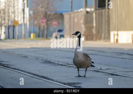 A male Canada goose stands guard in an area near his nest in an industrial area on Chicago's Goose Island. - Stock Image