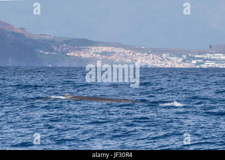 Female Sperm Whale, Physeter macrocephalus, or cachalot,surfacing with dorsal showing, in front of Funchal, Madeira, - Stock Image
