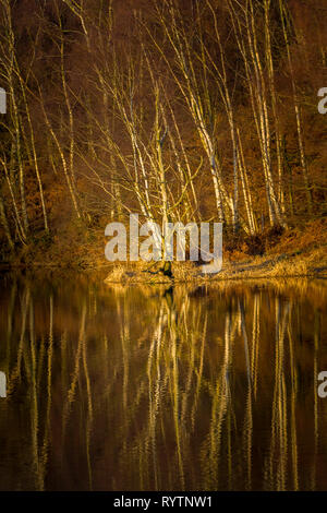 Silver Birch trees on the banks of Staunton Harold Reservoir, Derbyshire, on a winter evening. - Stock Image