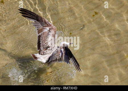 One seagull almost landed on the Baltic Sea waters next to the beach in Kolobrzeg, Poland. - Stock Image