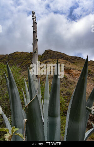 Agave plants in the Urubamba Valley, Cusco, Peru - Stock Image