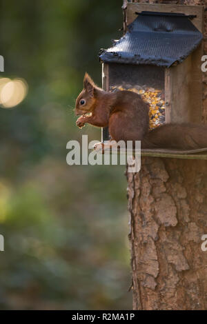 Red Squirrel  (Sciurus vulgaris) eating next to a feeder attached to a tree. (vertical) - Stock Image