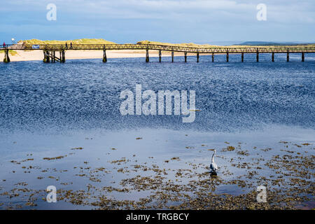 A Grey Heron fishes in brackish water near footbridge to beach and sand dunes across Lossie River on Moray Firth coast. Lossiemouth Moray Scotland UK - Stock Image