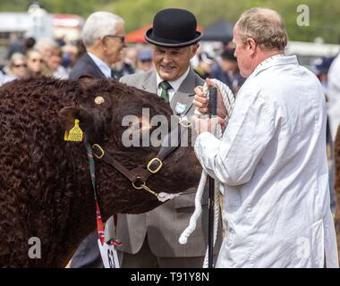 Exeter, Devon, UK. 16th May 2019 Judges take a look at the local Ruby Red Devon cattle in the showring on the first day of the Devon County Show, at the Westpoint Showground, Exeter Credit: Photo Central/Alamy Live News - Stock Image