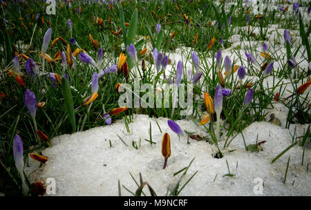 Crocuses, spring flowers sprout from the snow - Stock Image