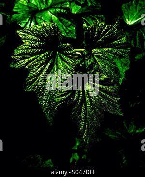 Foliage of Japanese Anemone - Stock Image