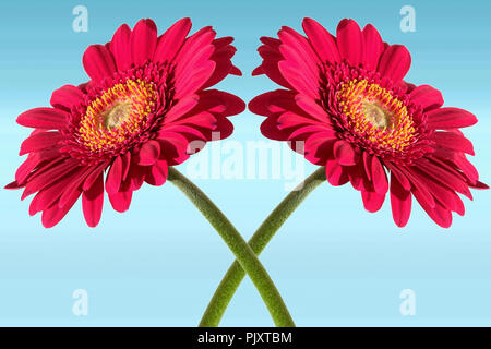 Entwined Gerbera Flowers - Stock Image
