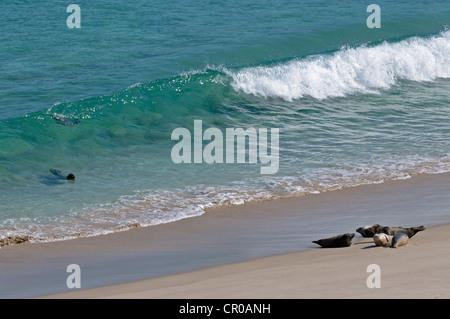 Atlantic grey seals (Halichoerus grypus) surfing on to beach. Western Isles, Scotland. June. - Stock Image