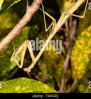 Sub-adult Grass Mantis (Archimantis latistyla), Cairns, Far North Queensland, QLD, FNQ, Australia - Stock Image