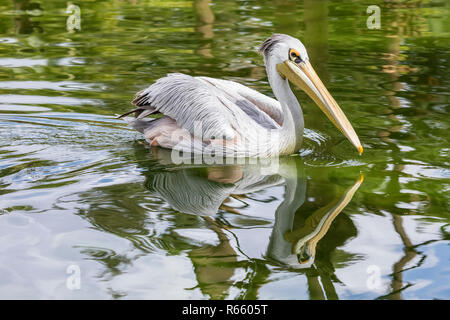 The Great White Pelican. - Stock Image