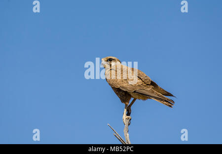 Brown Falcon, Birdsville, Queensland, Australia - Stock Image