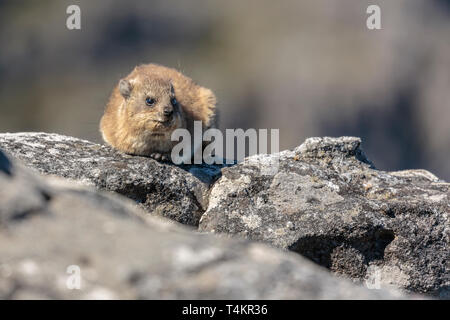 Rock badger, dassie, Procavia capensis, lying on a rock basking in the sun, Table mountain, Cape Town, South Africa - Stock Image