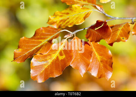 Beech (fagus sylvatica), a shot of the leaves in their autumn colours. - Stock Image