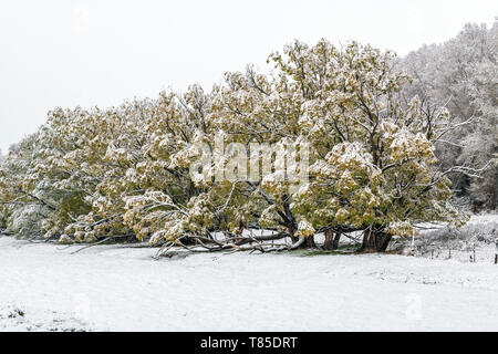 Golden Willow trees with spring leaves in fresh May 9th springtime snowstorm; Salida; Colorado; USA - Stock Image