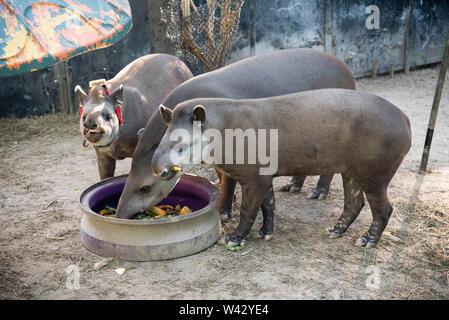 Tapir reintroduction project in ZooRio, Rio de Janeiro, Brazil - Stock Image