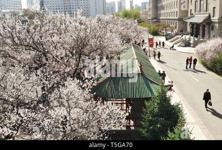 Harbin, China's Heilongjiang Province. 24th Apr, 2019. In this aerial photo, apricot trees in full bloom are seen in Harbin Engineering University in Harbin, northeast China's Heilongjiang Province, April 24, 2019. Credit: Wang Song/Xinhua/Alamy Live News - Stock Image
