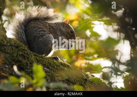 A Grey Squirrel (Sciurus carolinensis) feeding on acorns in Barnett Demesne, Belfast, N.Ireland. - Stock Image