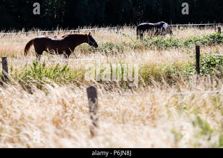 Mülheim an der Ruhr, Germany. 1 July 2018. Horses grazing on a parched meadow in scorching heat. Summer weather in Germany. Photo: Bettina Strenske/Alamy Live News - Stock Image
