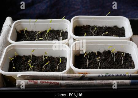 Tomato seedlings growing in reused margarine tubs indoors in February, Wales, UK - Stock Image