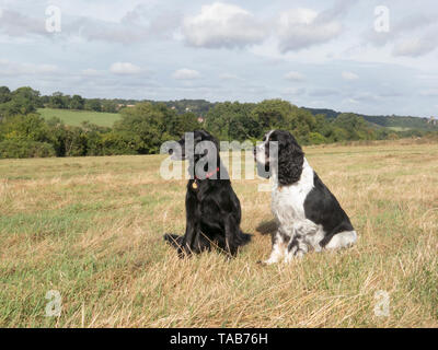 springer spaniel, 10 year old male & flat coated retriever, 7 year old female, sitting on Farthing Down, Coulsdon, Surrey - Stock Image