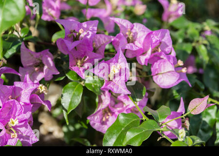 Vibrant pink bougainvillea flowers - Stock Image