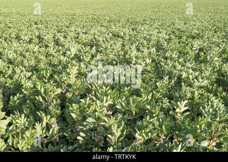 Broad beans growing in a farmer's field near Slingsby, North Yorkshire, England, UK - Stock Image
