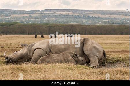 Rhino baby nursing. - Stock Image