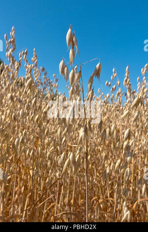Oat field with reduced grain yield due to extreme drought summer 2018. Kernel size reduced. Record breaking summer heat and drought. - Stock Image