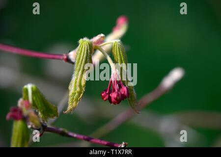 acer japonicum aki hi,Aki hi Japanese Maple,Aki-hi Japanese Maple,acer japonicum aki-hi,leaf,leaves,red flowers,spring,emerge,break dormancy,garden,ne - Stock Image