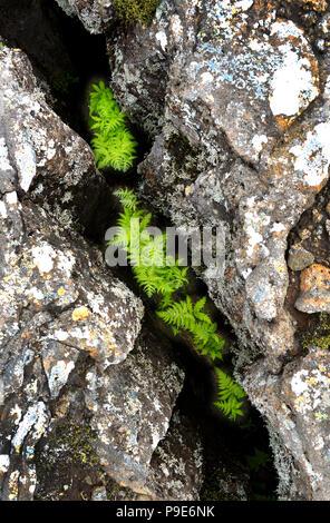 cracked volcanic lava landscape and vegitation on Iceland - Stock Image