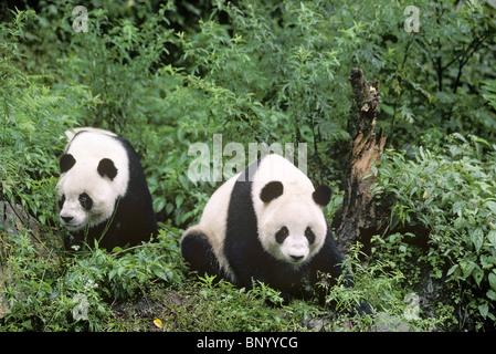 Two giant pandas Wolong, Sichuan China, September - Stock Image