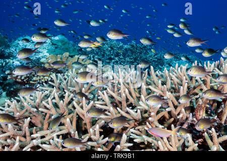 Ternate Chromis in Coral Reef, Chromis ternatensis, Lissenung, New Ireland, Papua New Guinea - Stock Image