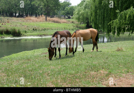 Two Horses by the River, Botshabelo Historical Village, South Africa. - Stock Image