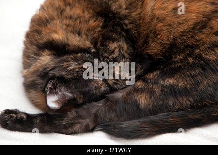 Beautiful black and orange cat curled up with it's paw over it's eyes wanting to sleep - Stock Image