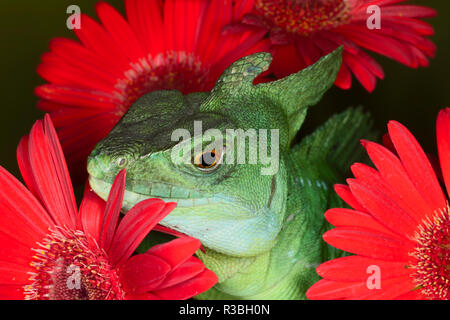 Plumed basilisk lizard, Basiliscus plumifrons, also known as Jesus Christ lizard. - Stock Image