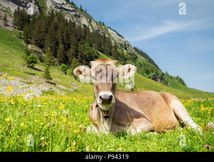 Young calf in Appenzell Switzerland - Stock Image